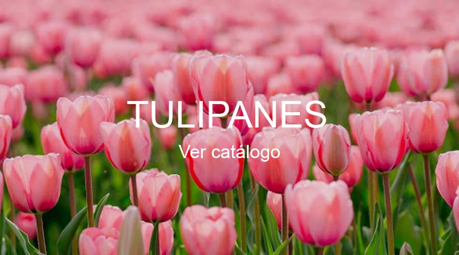 seccion-tulipanes